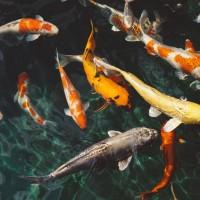 Hold dine fisk i havedammen sunde og raske